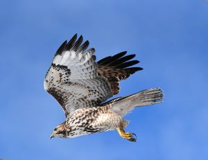 Hawk in flight in Midway, Utah
