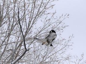 Red Tail Hawk, Midway, Utah