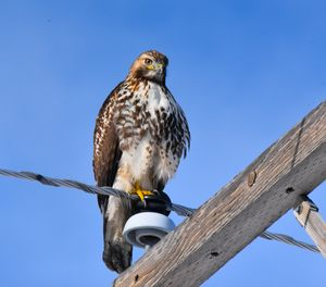 Bird on a wire-Red Tail Hawk