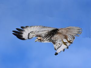 Red Tail Hawk in flight