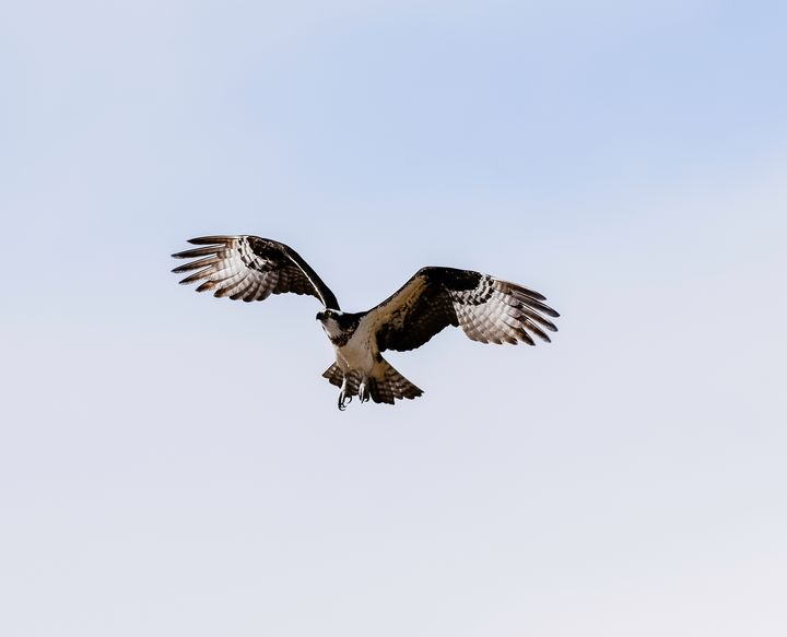 Osprey in flight - Aspen Ridge Gallery