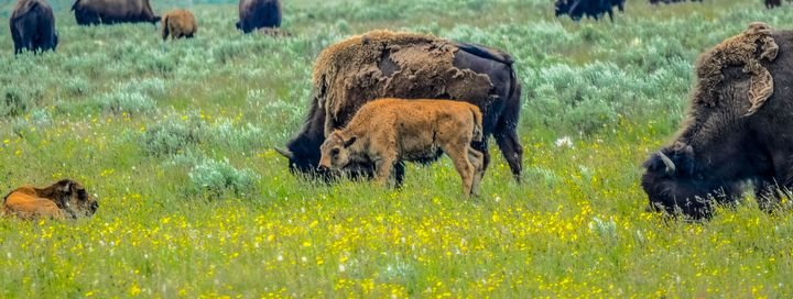 Spring Buffalo Babies in Yellowstone - Aspen Ridge Gallery