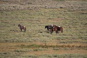Wild Horses in the Sage