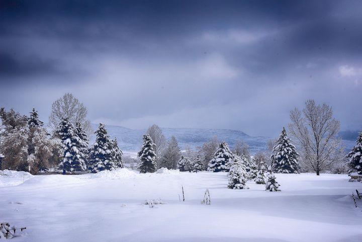 Christmas trees in the making - Aspen Ridge Gallery