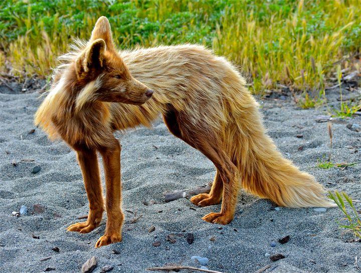 Island Fox - Aspen Ridge Gallery