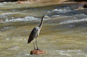 Crane at Zions National Park, Utah
