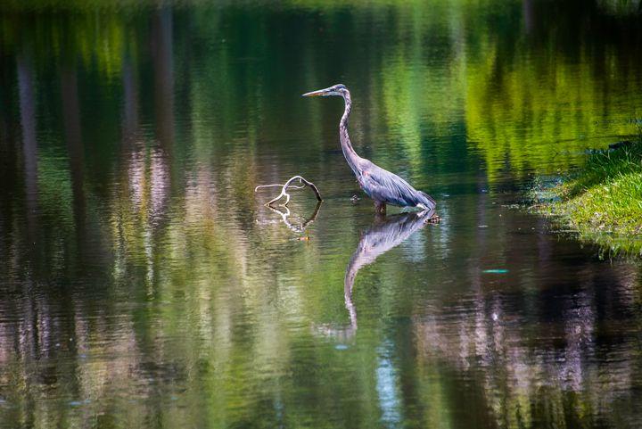 Blue Heron at Hilton Head, NC - Aspen Ridge Gallery