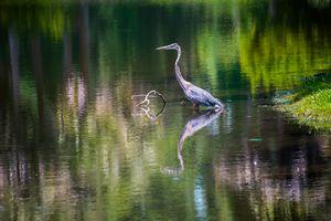 Blue Heron at Hilton Head, NC