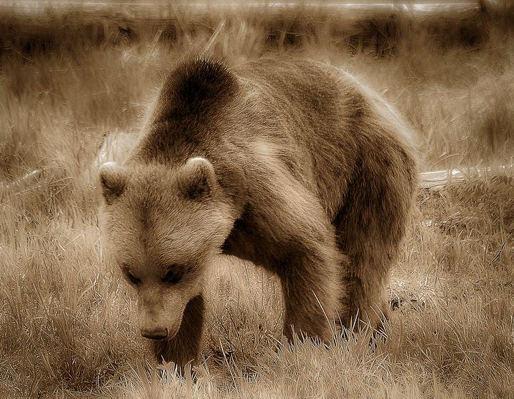 Grizzly Bear in Alaska - Aspen Ridge Gallery