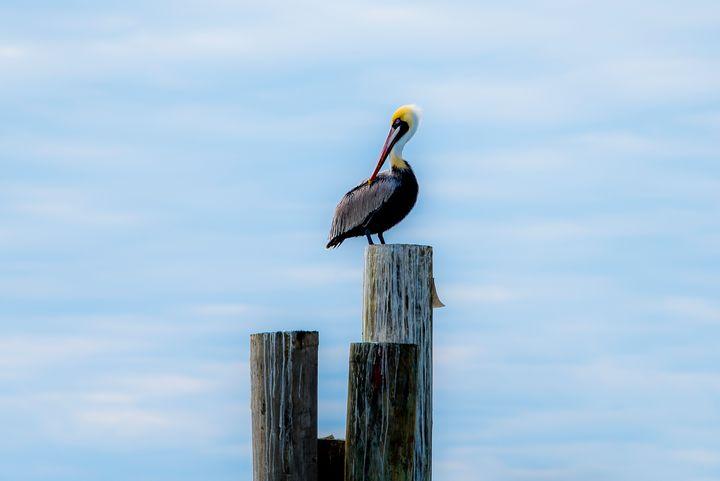 Pelican on watch - Aspen Ridge Gallery