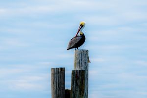 Pelican on watch