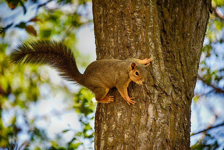 Tree Squirrel - Aspen Ridge Gallery