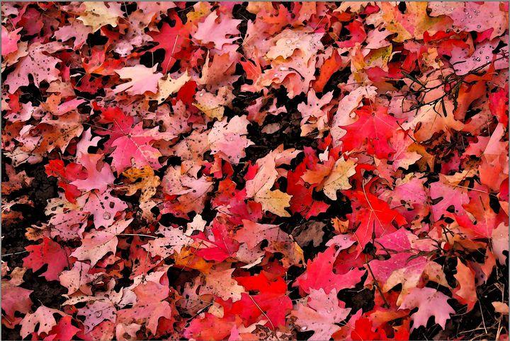 Red Maple leaves - Aspen Ridge Gallery