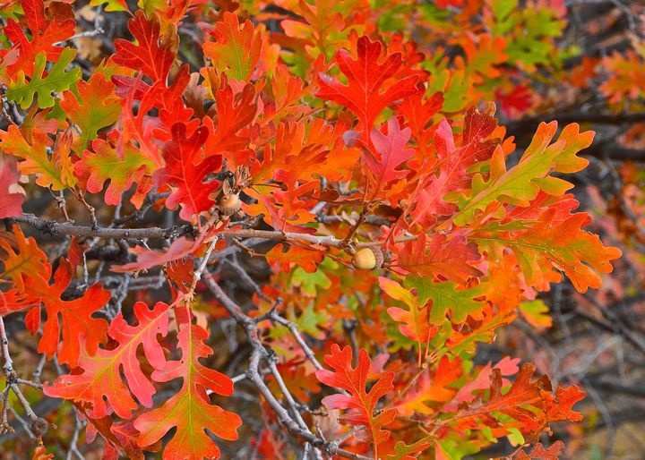 Oak leaves in Autumn - Aspen Ridge Gallery