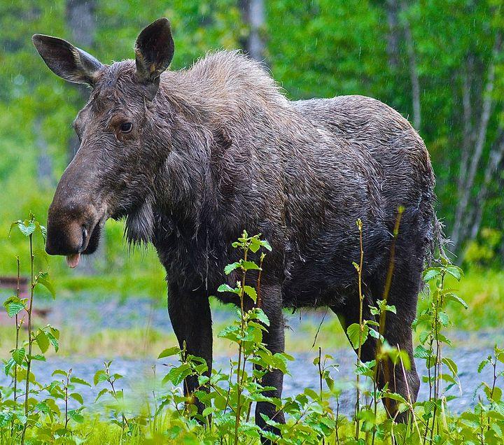Alaskan Moose - Aspen Ridge Gallery