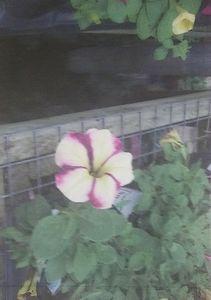 Pink Striped Flower
