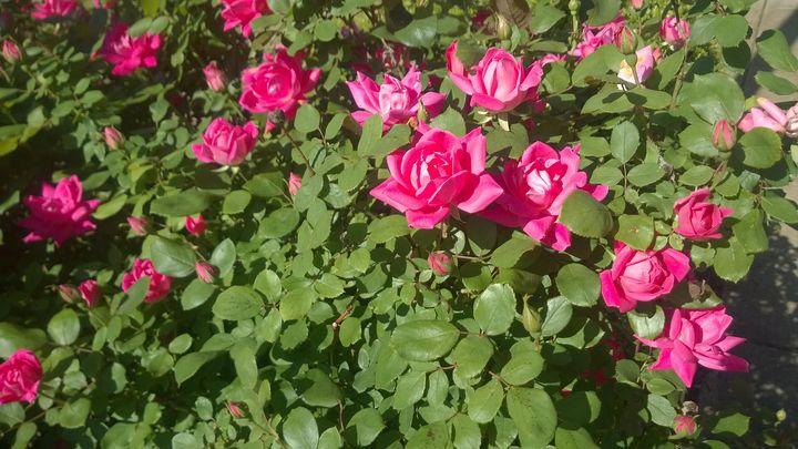 pink rose - Shelly Breeden
