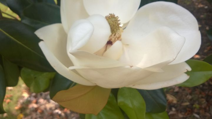 Magnolia 2 - Shelly Breeden
