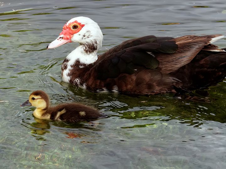 Mother Muscovy and Baby Duckling - Jill Nightingale