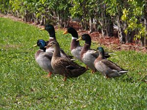 Badelynge of Mallard ducks on grass