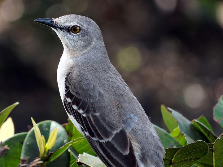 Portrait of a Northern Mockingbird - Jill Nightingale