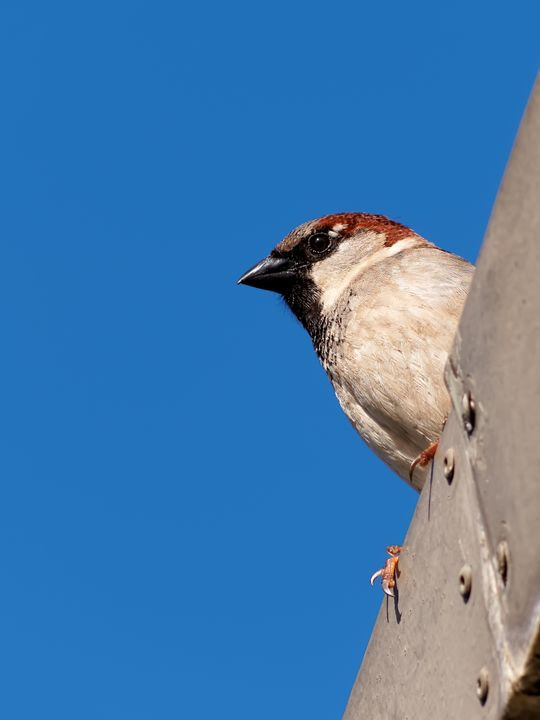 Male House Sparrow on Rooftop - Jill Nightingale