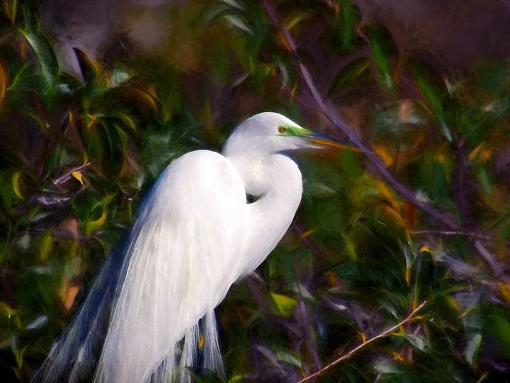 Breeding male Great Egret with green - Jill Nightingale