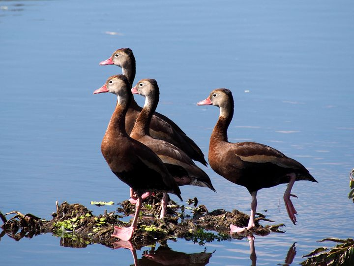 Black-Bellied Whistling Ducks - Jill Nightingale