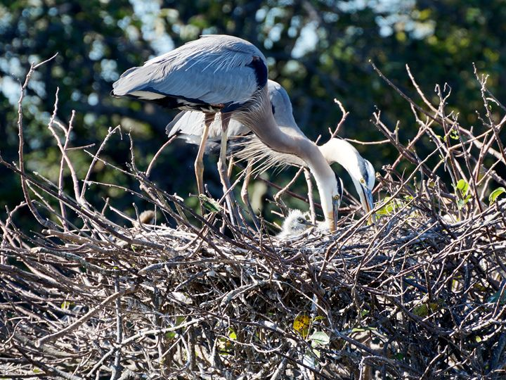 Great Blue Heron Family in Nest - Jill Nightingale