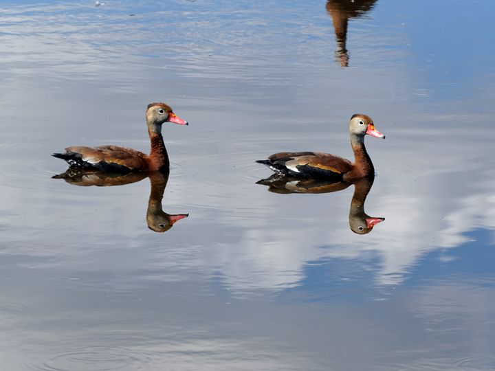 Two Black-Bellied Whistling Ducks - Jill Nightingale
