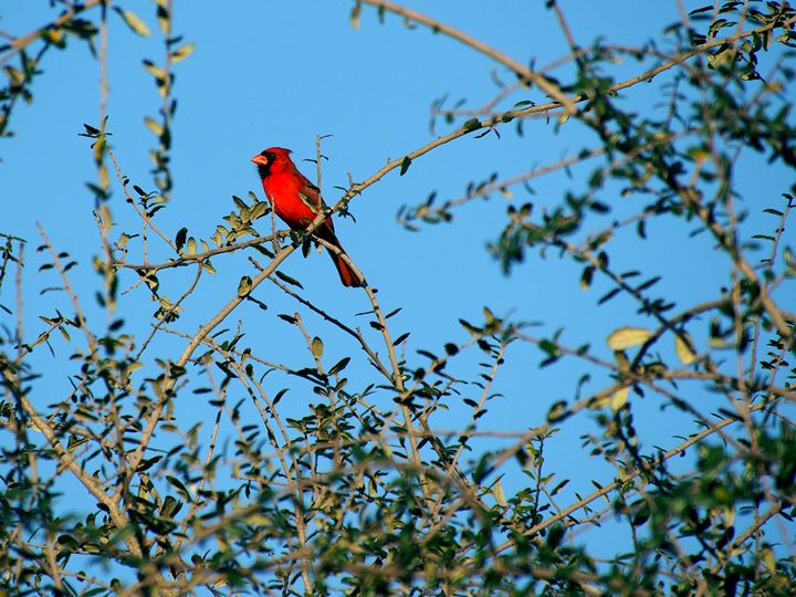 Red Northern Cardinal Bird on Tree - Jill Nightingale