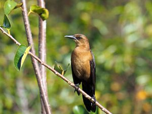 Female Boat-Tailed Grackle - Jill Nightingale
