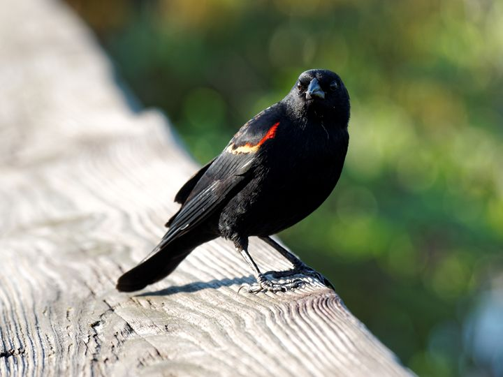 Red-winged Blackbird Staring - Jill Nightingale