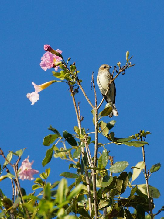 Palm Warbler Pink Flowers Blue Sky - Jill Nightingale