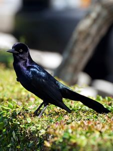 Iridescent Male Boat-Tailed Grackle - Jill Nightingale