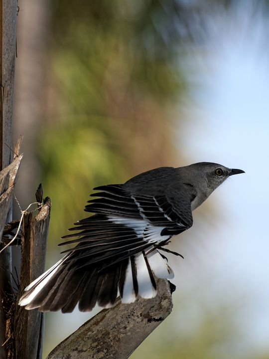 Northern Mockingbird Showing Off - Jill Nightingale