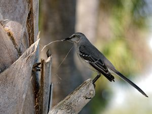 Northern Mockingbird Bird Behavior