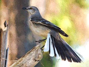 Northern Mockingbird Showing Off - Jill Nightingale