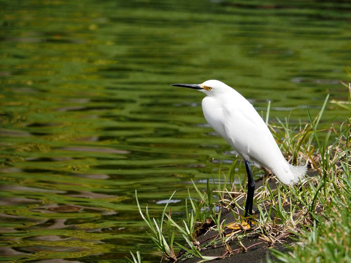 Snowy Egret Lost in Thought - Jill Nightingale
