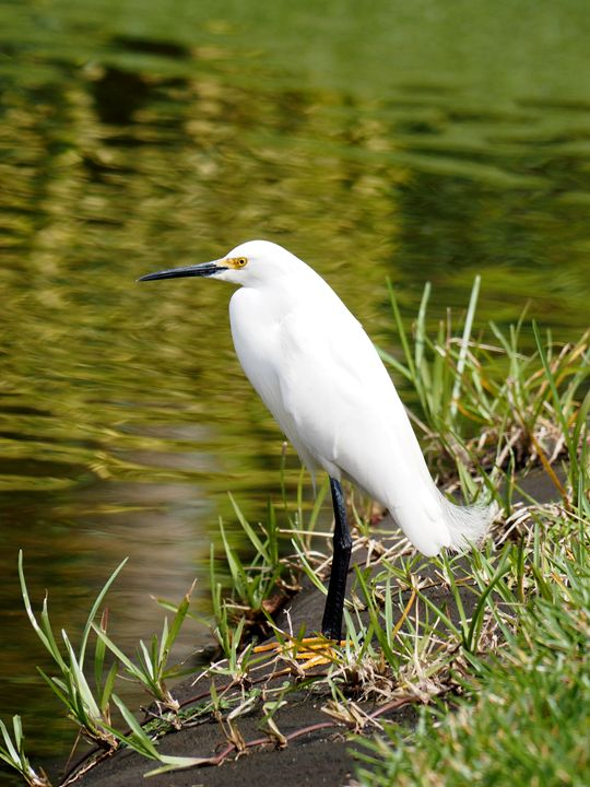 Snowy Egret standing by a lake. - Jill Nightingale