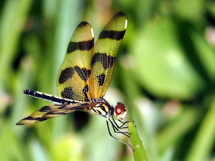 Halloween Pennant Dragonfly - Jill Nightingale