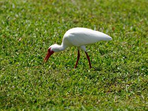 American White Ibis Foraging