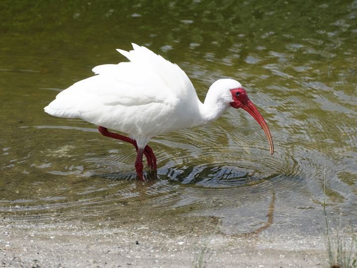 American White Ibis in Lake - Jill Nightingale