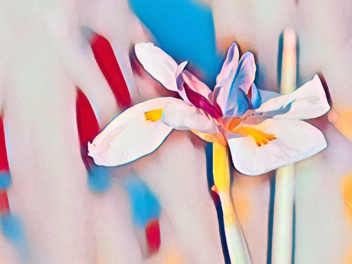 Colorful Bloom Bearded Iris Flower - Jill Nightingale
