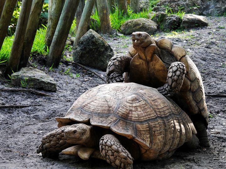African Spurred Tortoises Mating - Jill Nightingale