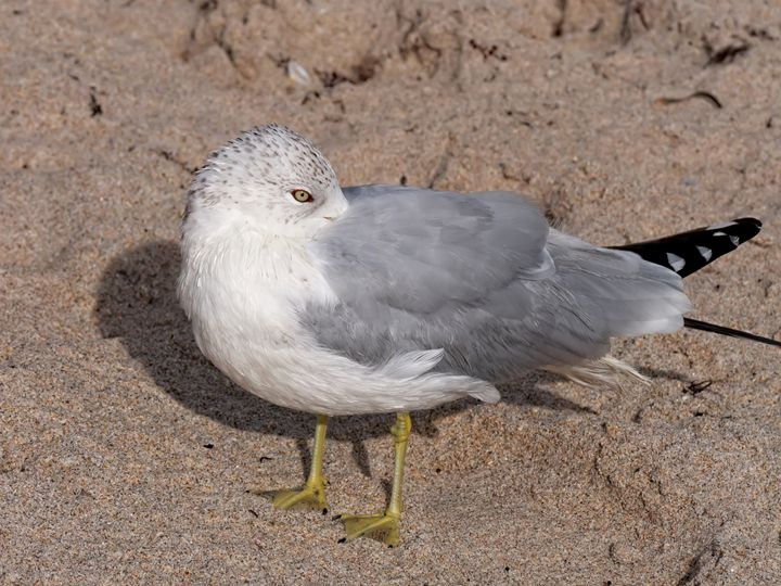 Head Tucked Under Wing Gull - Jill Nightingale