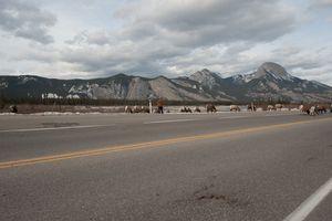 Rams in Jasper