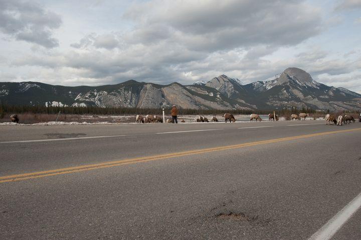 Rams in Jasper - Kalaya Point