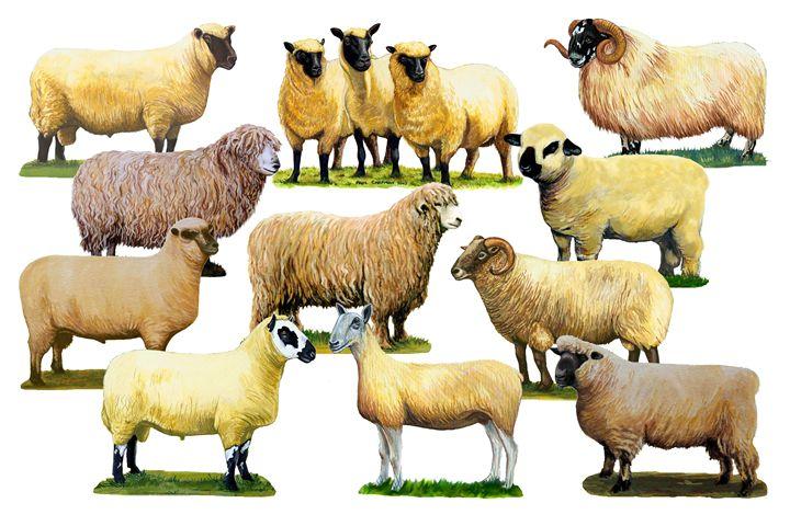Sheep montage - PAUL CHAPMAN FINE ART