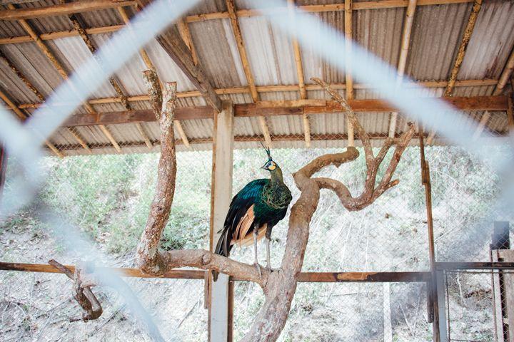 Peacock - Maivab Adventures